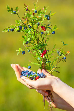 Young woman hand with blueberry and lingonberry bush. On green grass field background. photo
