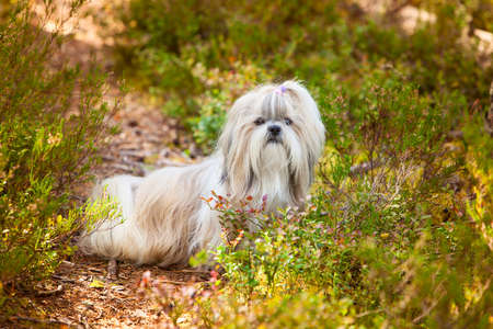 shihtzu: Shih-tzu dog sitting on path on forest Stock Photo