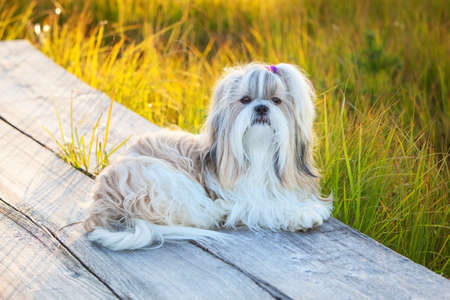 shihtzu: Shih-tzu dog lying on wooden path at countryside.