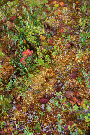 mosses: Mosses and lichens on swamp in Finland Stock Photo
