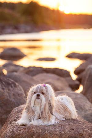 shihtzu: Shih-tzu dog lying on stone lake coast at sunset light.