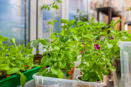 indoor plants: Growing seedlings and flowers in apartment before sow in ground. Stock Photo