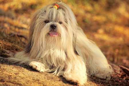 shihtzu: Shihtzu dog lying on ground portrait. Sunset golden colors.