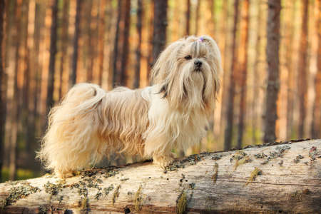 shihtzu: Shihtzu dog standing on tree trunk in forest.