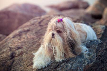 shihtzu: Shihtzu dog lying on stones. Soft sunset light.