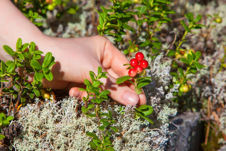 Young woman picking lingonberry in forest closeup view. photo