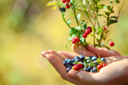 woman in field: Young woman hand with blueberry and lingonberry bush. On green grass field background.