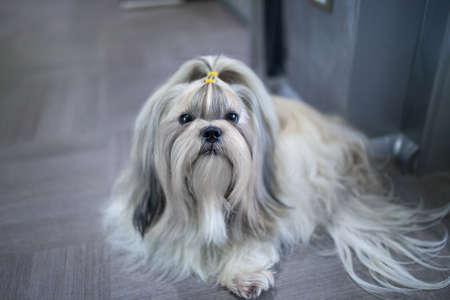 shih: Shih tzu dog lying in home interior. Stock Photo