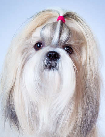 shihtzu: Shih tzu dog portrait on bright background