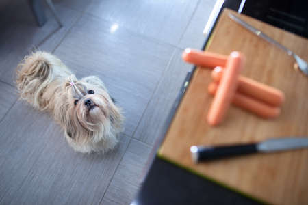 Shih tzu dog standing in kitchen and looking on board with sausages. Want to steal it. Focus on dog. Stock Photo