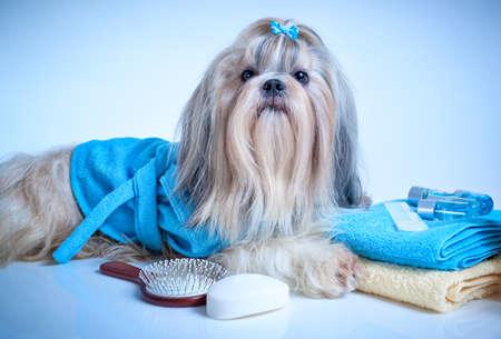 bañarse: Shih tzu perro después del lavado. Con albornoz, toallas y peine. Suave tinte azul de fondo. Foto de archivo
