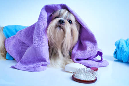 shih: Shih tzu dog after washing. With bathrobe, towels and comb. Soft blue background tint.