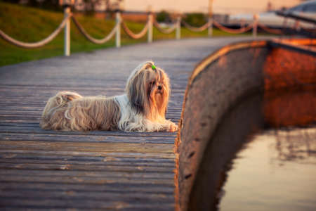 shihtzu: Shih tzu dog lying and looking on water at sunset light.