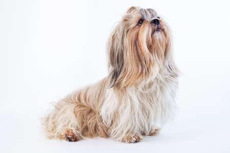 Adult shih tzu dog on bright white background Stock Photo