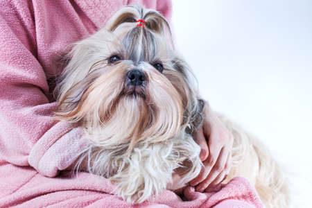 Shih tzu dog on young woman hands. Animals love and care concept.