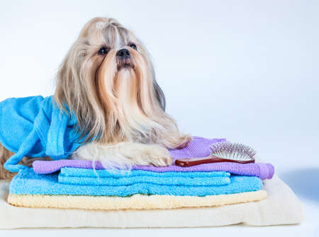 Shih tzu dog after washing. With towels and comb. On white background. Stock Photo