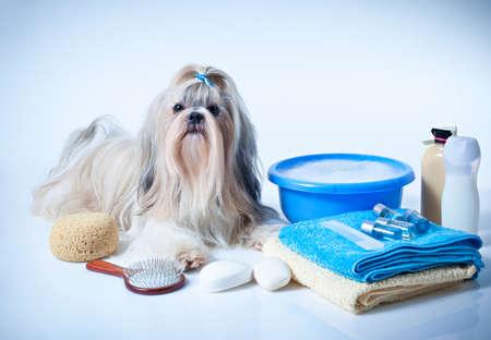 シーズー犬の洗濯のコンセプトです。くし、タオルと石鹸での肖像画。白と青の背景。