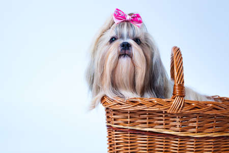 Cute shih tzu dog with pink bow sitting in basket on white and blue background. Text space on left corner.