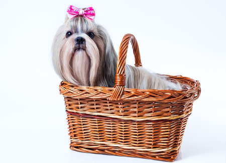 shihtzu: Cute shih tzu dog with pink bow sitting in basket on white background Stock Photo