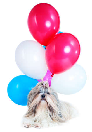 purebreed: Long hair shih tzu dog holiday with red, blue and white balloons. On white background. Holiday celebration concept.