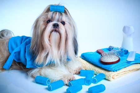 Shih tzu honden wassen en verzorgen concept. Portret met een badjas, handdoeken en krulspelden. Op witte en blauwe achtergrond.