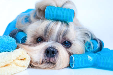 canine: Shih tzu dog hair style with curlers and towels. On white background.