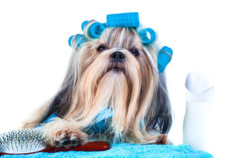 Shih tzu dog after washing. With curlers, towels and comb. On white background.