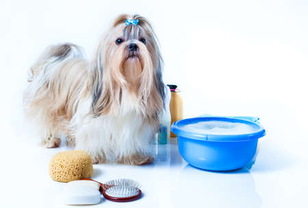 Shih tzu dog washing concept. Portrait with comb, towels and soap. On white background.