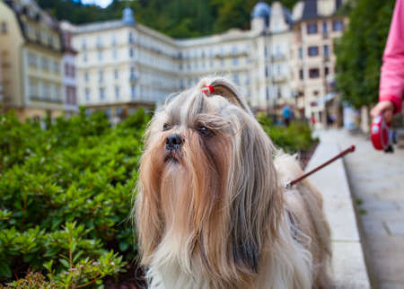Shih-tzu dog walking in traditional europe city. Woman holding him on lead.