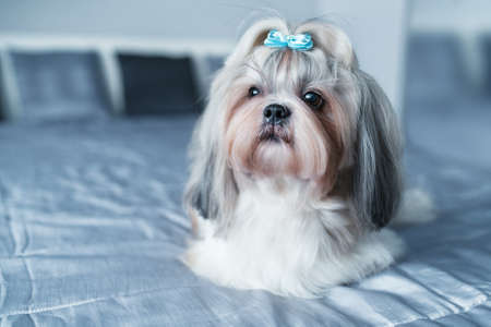 Shih tzu dog lying on bed in modern interior