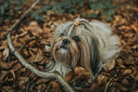 Shih tzu dog lying on autumn foliage Stock Photo