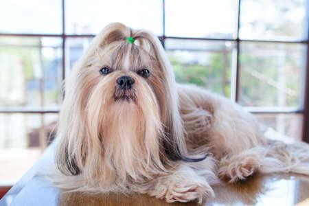 Shih tzu dog lying on table in luxury interior with big windows Stock Photo