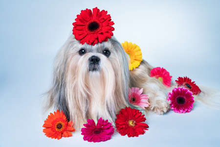 Shih tzu dog lying with flowers. Relaxing and good fragrance concept.