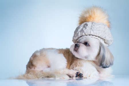 Shih tzu dog in big winter cap portrait. On bright white and blue background.