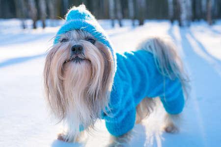 Shih tzu pies w błękitnym trykotowym pulower zimy outdoors portrecie Zdjęcie Seryjne