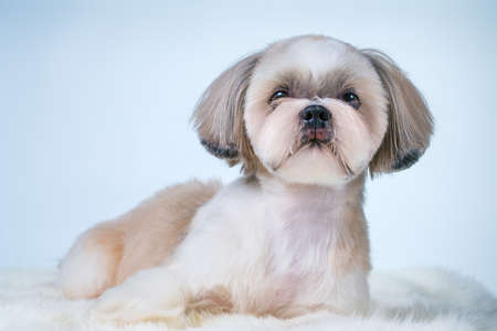 Shih tzu dog with short hair after grooming portrait. On bright white and blue background.
