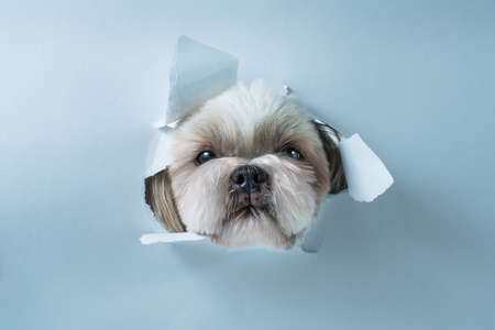 Cute shih tzu dog looking through hole in white paper