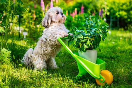 手押し車と工場の夏の庭にかわいいシーズー犬