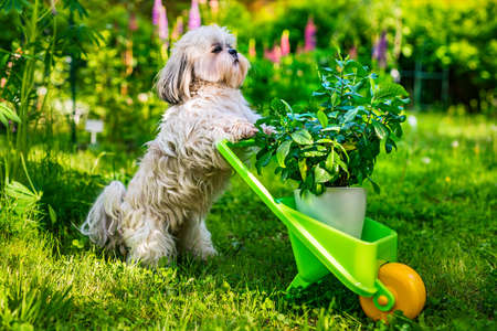Cute shih tzu dog in summer garden with wheelbarrow and plant Reklamní fotografie