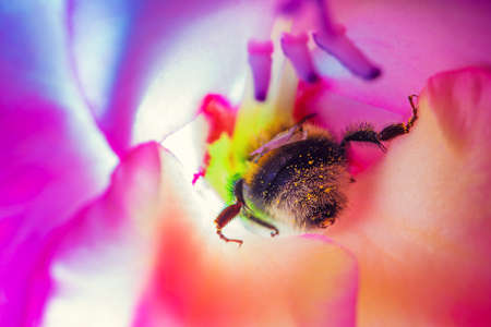 Bumblebee in flower macro. Vibrant sunny colors. Stock Photo