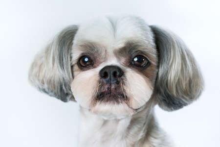Shih tzu dog with short hair after grooming portrait. On bright white background.