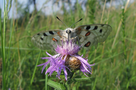Apollo butterfly (Parnassius Apollo), with large white wings and pattern of red and black spots, sitting on pink flower against green grass background.