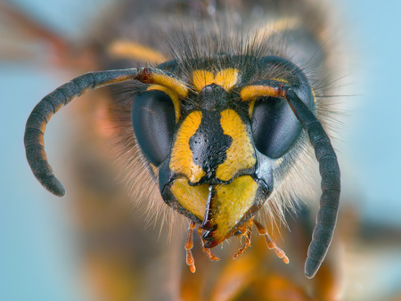 Portrait of a wasp, created with focus stacking and averaging techniques. 120 source RAW photos was used (20 groups with different focus, each group contains 6 identical shots for averaging). Stock Photo