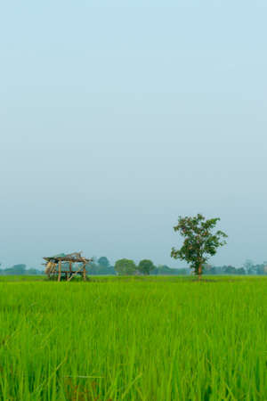 Rice field and farmhouse Stock Photo