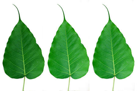 Bodhi-or-Peepal-Leafs-on-white-background Stock Photo