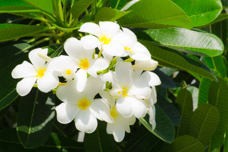 A background with frangipani flowers