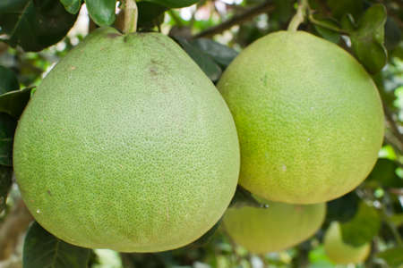 Pomelo fruta en el �rbol photo