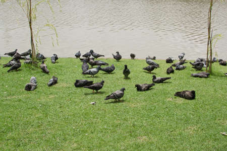 pigeons on the park