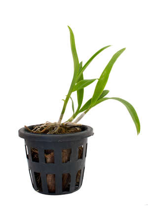 Young-Orchid in the pot Stock Photo