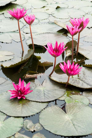 pink lotus blossom blooming on pond photo